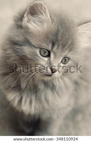 A beautiful grey kitten - Close up photo - stock photo