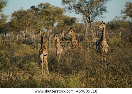 A beautiful group of young giraffe in the Okavangodelta, Botswana, Africa. - stock photo