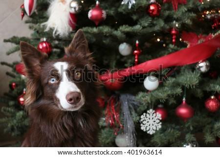 A beautiful happy dog behind a christmas tree - stock photo