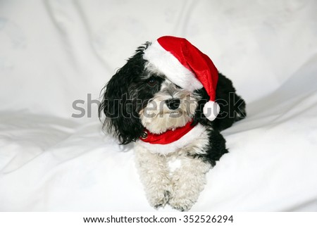 A beautiful Havanese Dog wears his Christmas Collar and Christmas Hat while posing for his Holiday Portrait while sitting on a white cloth background with shadows and wrinkles in the cloth.  - stock photo