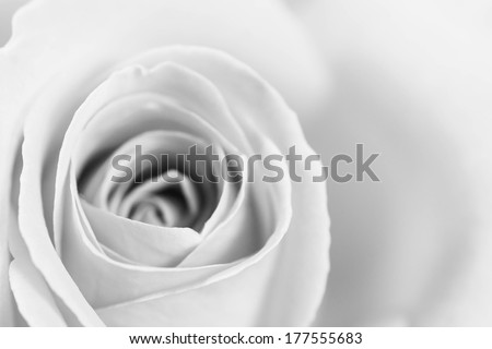 A beautiful high resolution rose in black and white