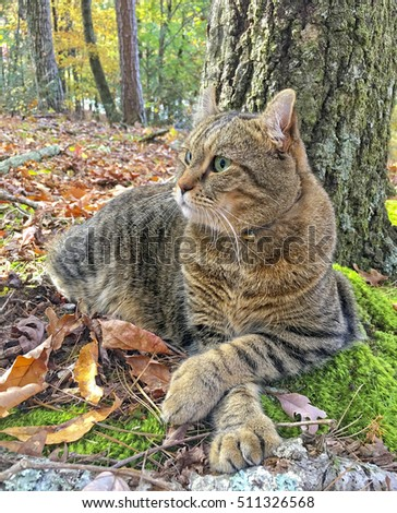 A beautiful Highland Lynx cat lying under a tree in the woods surrounded by fall colors.  This breed crosses it's paws when resting.