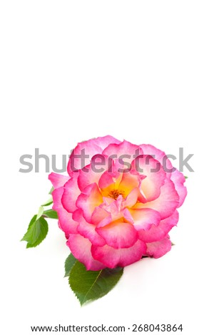 A beautiful home grown single rose isolated on a vertical white background with plenty of space for text