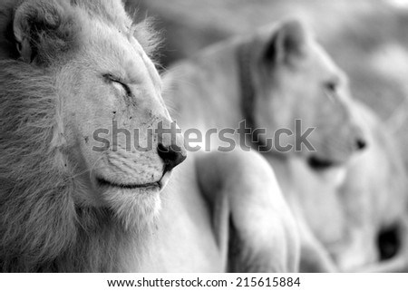 A beautiful image of a male and female white lion in black and white. - stock photo