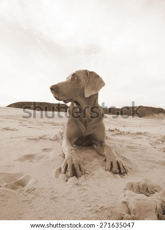 A beautiful image of a male weimaraner posing on the sand with the sun setting in the background.