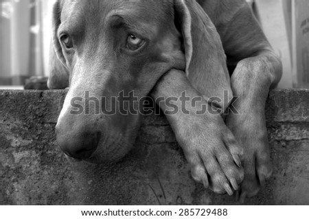 A beautiful image of a male weimaraner posing on the stoep - stock photo