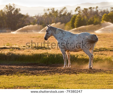 A beautiful image of an Appaloosa horse.  This image was taken during golden hour sunset. - stock photo