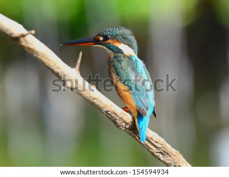 A beautiful Kingfisher bird, Common Kingfisher (Alcedo athis), sitting on a branch