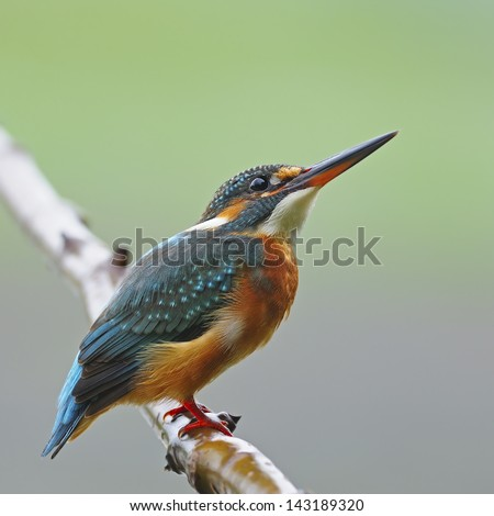 A beautiful Kingfisher bird, female Common Kingfisher (Alcedo athis), sitting on a branch