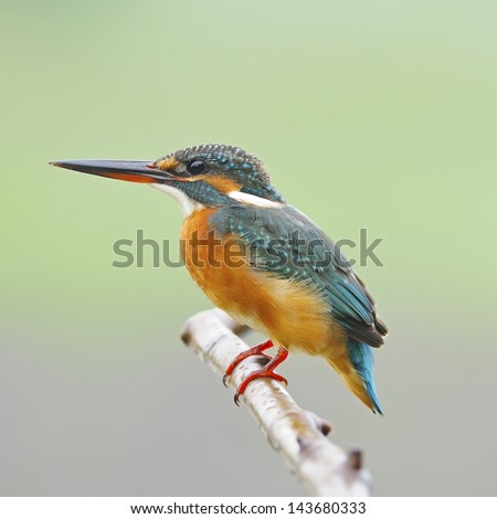 A beautiful Kingfisher bird, female Common Kingfisher (Alcedo athis), standing on a branch