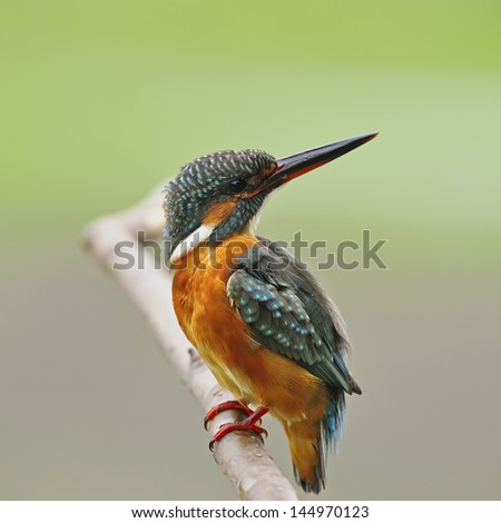 A beautiful Kingfisher bird, female Common Kingfisher (Alcedo athis), standing on a branch, breast profile