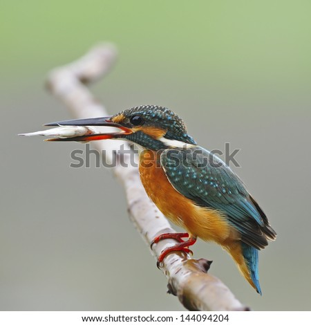 A beautiful Kingfisher bird, female Common Kingfisher (Alcedo athis), standing on a branch with fish in her mouth