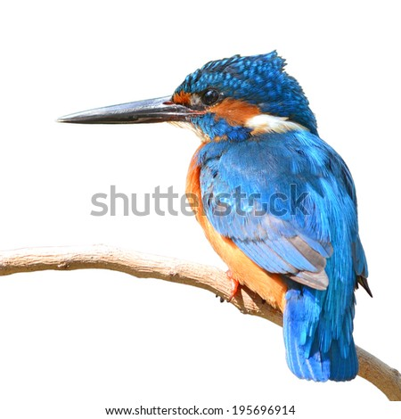 A beautiful Kingfisher bird, male Common Kingfisher (Alcedo athis), perching on a branch, white background - stock photo