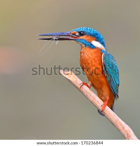 A beautiful Kingfisher bird, male Common Kingfisher (Alcedo athis), sitting on a branch and eating shrimp