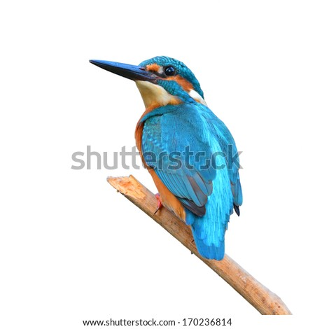 A beautiful Kingfisher bird, male Common Kingfisher (Alcedo athis), sitting on a branch on white background - stock photo