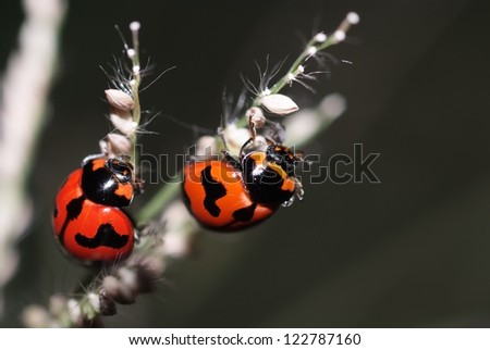 A beautiful ladybugs are mating on flower of grass. - stock photo