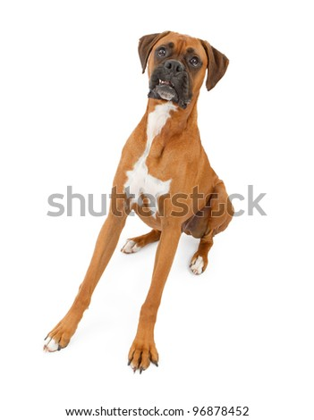 A beautiful large Boxer dog with his legs extended out making a funny face with his teeth out. Isolated on white.
