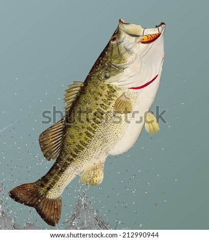 A beautiful leaping Largemouth Bass (Micropterus salmoides) on a fisherman's line. - stock photo