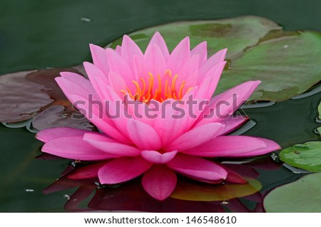 A beautiful light pink waterlily or lotus flower. - stock photo