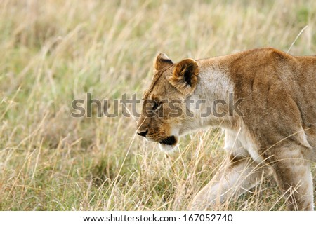 A beautiful lioness in the grassland - stock photo