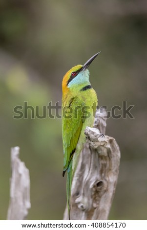 A beautiful little Green Bee-Eater isolated - stock photo