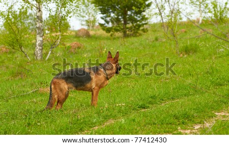A beautiful long haired German Shepherd dog head portrait with an alert expression in face watching other dogs in the park - stock photo