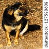 A beautiful, lovely, gorgeous, Chow, Rottweiler, German Shepard mix breed dog outside - stock photo