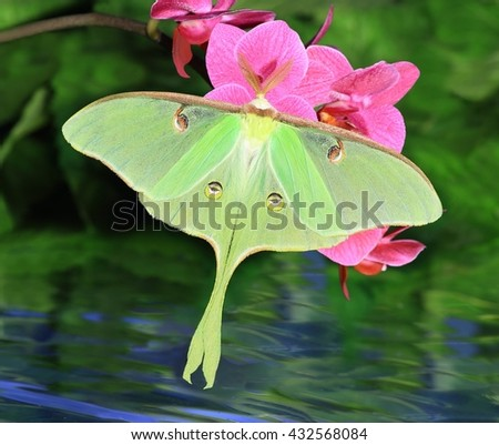 A beautiful Luna Moth (Actias luna) at pink orchids in a water garden. - stock photo