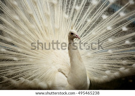 A beautiful lwhite peacock with expanded feathers