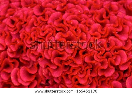 A beautiful macro shot of the petals of a red flower - stock photo