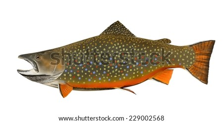 A beautiful male Brook Trout (Salvelinus fontinalis) isolated on a white background. - stock photo