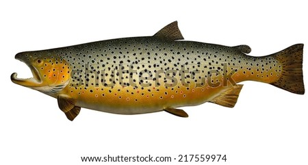 A beautiful male Brown Trout (Salmo trutta) isolated on a white background. - stock photo