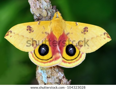A beautiful male IO Moth (Automeris io) on a forest branch. - stock photo