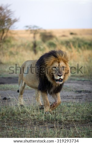 A beautiful male leon in a sunny morning in Kenya, Africa