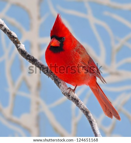 A beautiful male Northern Cardinal (Cardinalis cardinalis) on a winter branch with snowy branches and blue sky in the background. - stock photo