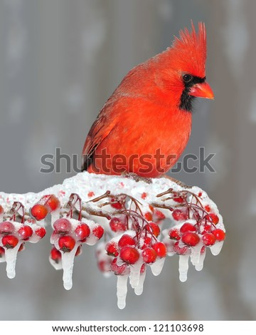 A beautiful male Northern Cardinal (Cardinalis cardinalis) on an icy hawthorn branch laden with bright red berries. - stock photo
