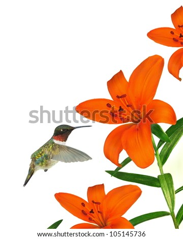 A beautiful male Ruby- throated Hummingbird (Archilochus colubris) at orange Asiatic lilies isolated on a white background.