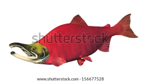 A beautiful male Sockeye Salmon (Oncorhynchus nerka) in spawning colors isolated on a white background. - stock photo