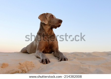 A beautiful male weimaraner dog posing proudly on the beach with the sun setting. - stock photo