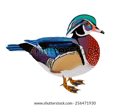 A beautiful male Wood Duck isolated on a white background- an illustration by Steven Russell Smith - stock photo
