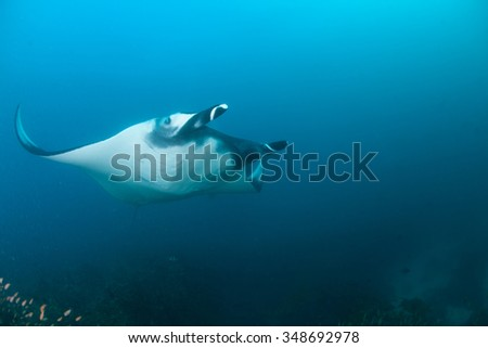 A beautiful manta alfredi flying gracefully through very blue water - stock photo