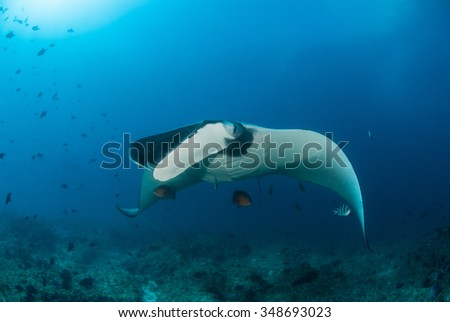 A beautiful manta ray gliding over a reef in clear blue water