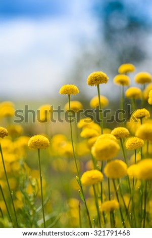 A beautiful meadow of yellow flowers in summertime  - stock photo