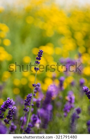 A beautiful meadow of yellow flowers with purple lavender in summertime