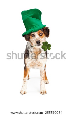 A beautiful mixed breed dog Wearing green St Patrick's Day hat with clover in his mouth