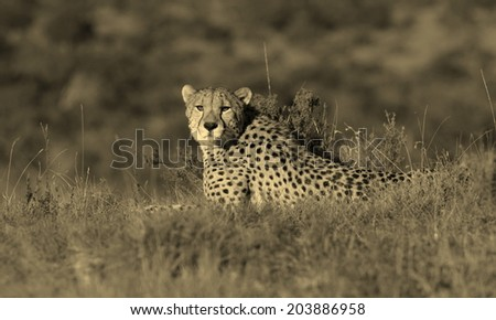 A beautiful monochrome image of a cheetah lying on the hill top looking straight at the camera. Taken on safari in Africa. - stock photo