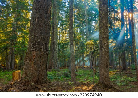 A beautiful morning with sunrays shining through the forest trees. - stock photo