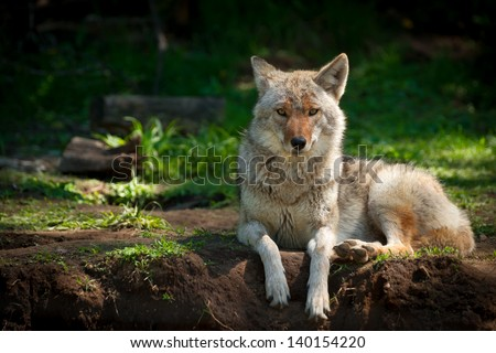 A beautiful North American Coyote (Canis latrans) stares into the camera as it lies on a dirt patch in a  Canadian forest. - stock photo