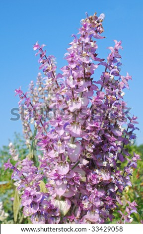 A beautiful odorous herb the salvia sclarea, which can be used as a natural remedy against stress, cramp and a lot of other diseases,