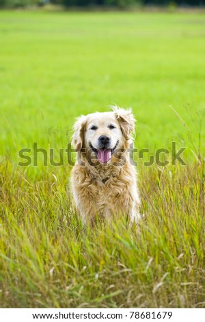 A beautiful, old, female golden retriever taking a break, sat in a field whilst out for a walk in the countryside